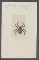 Coeculus - Print - Iconographia Zoologica - Special Collections University of Amsterdam - UBAINV0274 073 02 0026.tif