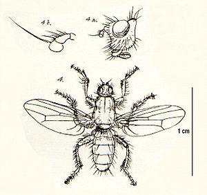 Coelopa frigida - Image: Coelopidae