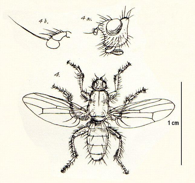 Coelopidae.jpeg