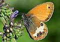 Coenonympha arcania - Pearly Heath butterfly 2.jpg