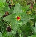 Colegiala - Insignia (Zinnia peruviana) - Flickr - Alejandro Bayer (1).jpg