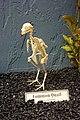 Colinus virginianus - skeleton.jpg