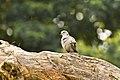 Collared Dove, Bandipur NP, Karnataka, India (48524908).jpg