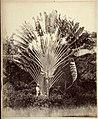 Collectie Nationaal Museum van Wereldculturen TM-60062275 Reizigers boom (Ravenala) met twee mannen Jamaica J. Valentine & Sons (Fotostudio).jpg