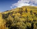 Colorado aspens LCCN2011631116.tif