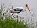 Coloured Stork.jpg