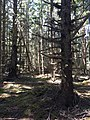 Colville Spruce (20472697784).jpg