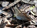 Common Baron Euthalia aconthea by Dr. Raju Kasambe DSCN8326 (7).jpg