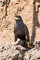 Common Black-Hawk -46 100- (36034741911).jpg