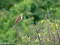 Common Cuckoo (Cuculus canorus) (51340475594).jpg