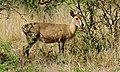 Common Duiker (Sylvicapra grimmia) (6600952953).jpg