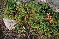 Common Juniper (Juniperus communis) - Bonavista, Newfoundland 2019-08-13.jpg