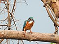 Common Kingfisher (Alcedo atthis)ചെറിയ മീൻകൊത്തി 2.jpg