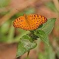 Common Leopard Phalanta phalantha on a Synedrella nodiflora (Cinderella weed) in Kolkata W IMG 3673.jpg
