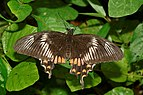 Common Mormon Papilio polytes-Kadavoor-2016-07-09-001.jpg