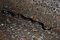 Common Rat Snake (Ptyas mucosa) 水律10.jpg