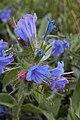 Common Viper's Bugloss (Echium vulgare) - Guelph, Ontario.jpg