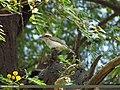 Common Woodshrike (Tephrodornis pondicerianus) (15707561759).jpg