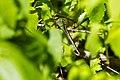 Common green darner (26324830492).jpg