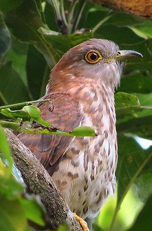 Midnapore - Common hawk cuckoo at Midnapur.