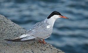 Common tern at Brooklyn Bridge Park (21040).jpg