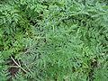 Conium maculatum leaf1 (14658871516).jpg