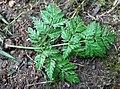 Conium maculatum leaf (15).jpg