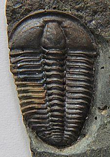 <i>Conocoryphe</i> genus of primarily eyeless trilobites belonging to the family Conocoryphidae