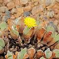 Conophytum bilobum-IMG 5458.jpg
