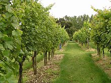 Photographie montrant un rang de vigne enherbé. Le feuillage, abondant encore en pousse et bien vert, et les petits grains vert sont au stade de début d'été..