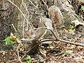 Contortionist Squirrel, Chatham Dockyard - geograph.org.uk - 1396811.jpg