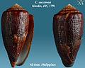 Conus coccineus 3.jpg
