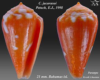 <i>Conus jacarusoi</i> Species of sea snail
