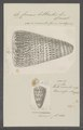 Conus litteratus - - Print - Iconographia Zoologica - Special Collections University of Amsterdam - UBAINV0274 086 02 0002.tif