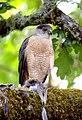Cooper's hawk 1.jpg