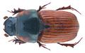 Coprimorphus scrutator (Herbst 1789) Syn.- Aphodius (Coprimorphus) scrutator (Herbst, 1789) (30587411934).png