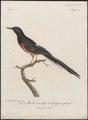Copsychus macrourus - 1796-1808 - Print - Iconographia Zoologica - Special Collections University of Amsterdam - UBA01 IZ16300377.tif