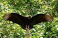 Coragyps atratus (Gallinazo común) - Flickr - Alejandro Bayer.jpg
