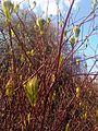 Cornales - Cornus alba - kew 3.jpg