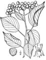 Cornus alternifolia BrittonBrown.png