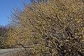 Cornus mas (Cornelian-Cherry) (33236700011).jpg