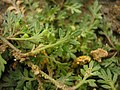 Coronopus squamatus leaf (01).jpg