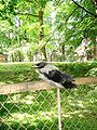 Corvus corone cornix 01.JPG