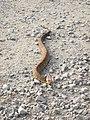 Cottonmouth snake reptile agkistrodon piscivorus.jpg