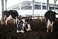 Cowshed in kibbutz Ein Hamifraz 1.jpg
