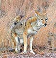 Coyote Bandelier Los Alamos NM.jpg