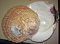 Crassadoma giganteus (giant rock scallop).jpg