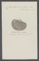 Crenatula avicularis - - Print - Iconographia Zoologica - Special Collections University of Amsterdam - UBAINV0274 075 07 0002.tif
