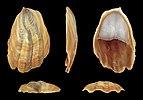 Crepidula onyx 01.JPG