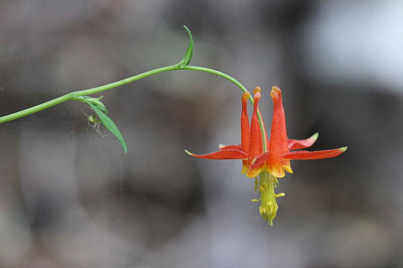 File:Crimson Columbine (Aquilegia formosa).jpg